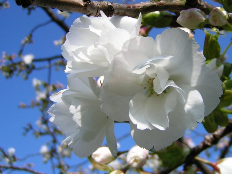 цветок цветет белыми цветами весной